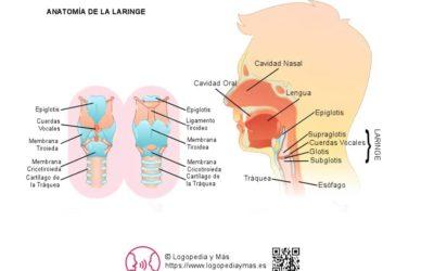¿Qué es la Laringe? Definición y Funciones