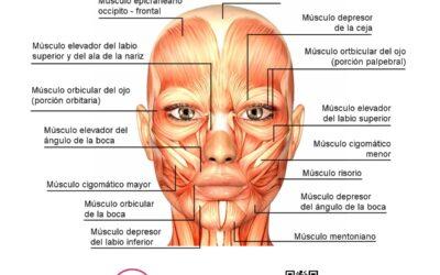 Músculos de la cara y sus funciones