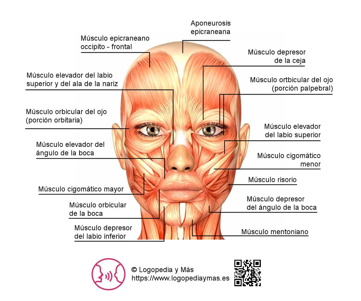 cuáles son los músculos de la cara